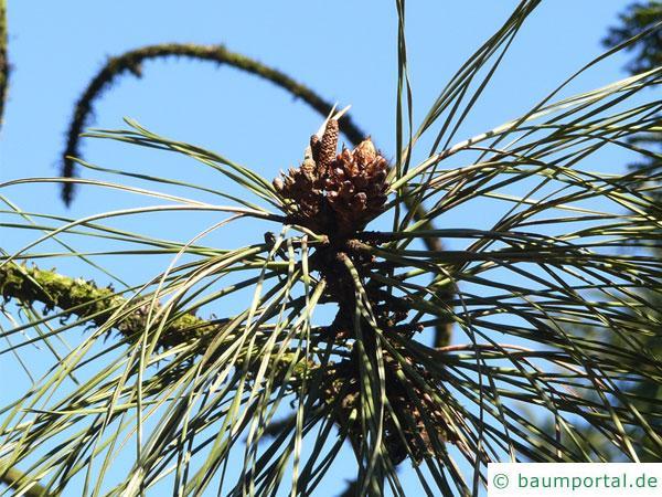 Gelb-Kiefer (Pinus ponderosa) Zweigspitzen