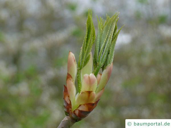 gelbe Kastanie (Aesculus flava) Austrieb