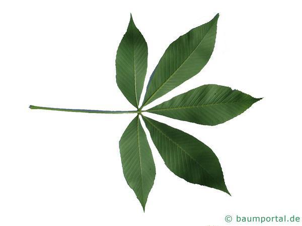 gelbe Kastanie (Aesculus flava) Blattunterseite