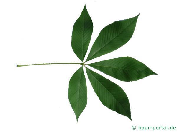 gelbe Kastanie (Aesculus flava) Blatt