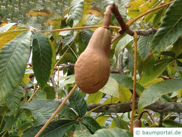 gelbe Kastanie (Aesculus flava) Frucht