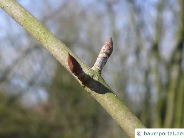 gelbe Kastanie (Aesculus flava) Seitenknospen