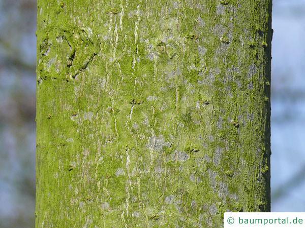 gelbe Kastanie (Aesculus flava) Stamm
