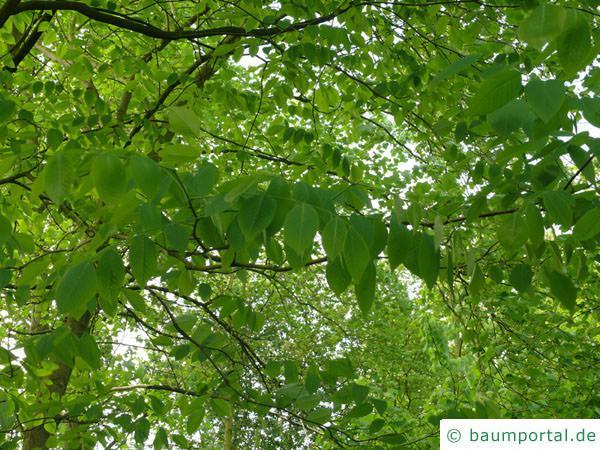 Gelbholz (Cladrastis kentukea) Blätter
