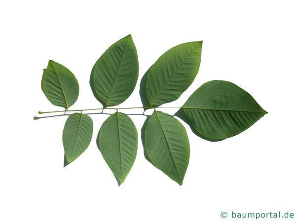 Gelbholz (Cladrastis kentukea) Blattunterseite