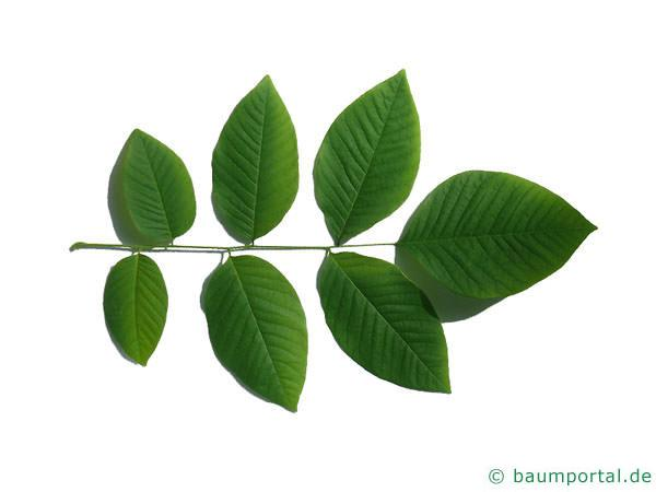 Gelbholz (Cladrastis kentukea) Blatt