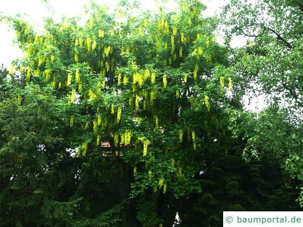gemeiner Goldregen (Laburnum anagyroides) Baum