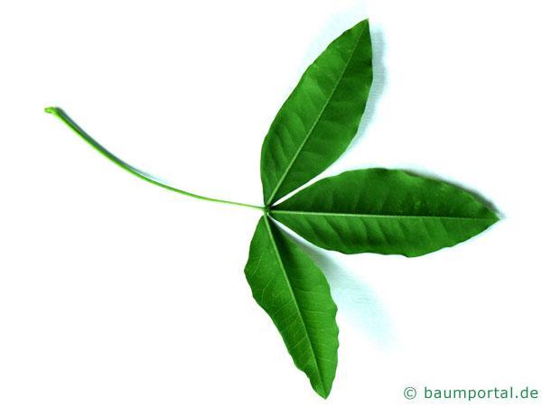 gemeiner Goldregen (Laburnum anagyroides) Blattunterseite