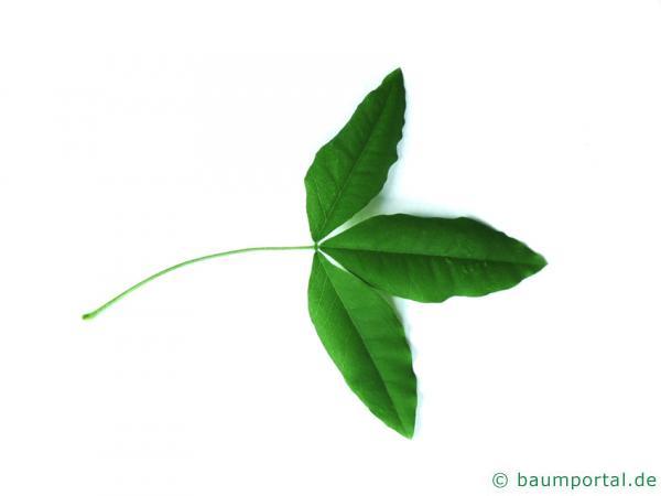 gemeiner Goldregen (Laburnum anagyroides) Blatt