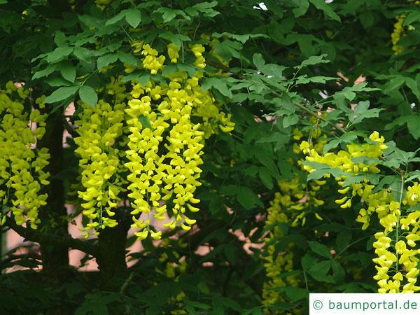 gemeiner Goldregen (Laburnum anagyroides) Blüten