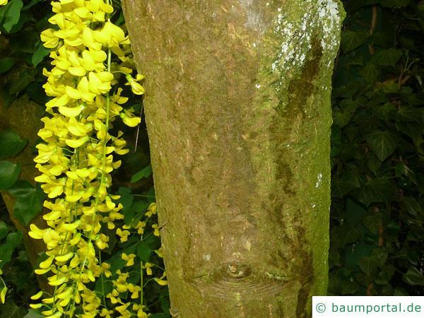 gemeiner Goldregen (Laburnum anagyroides) Stamm