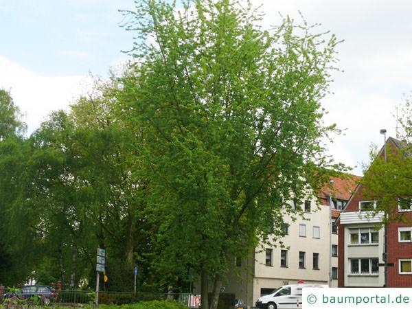 geschlitzter Spitz-Ahorn (Acer saccharinum 'Wieri') Baum