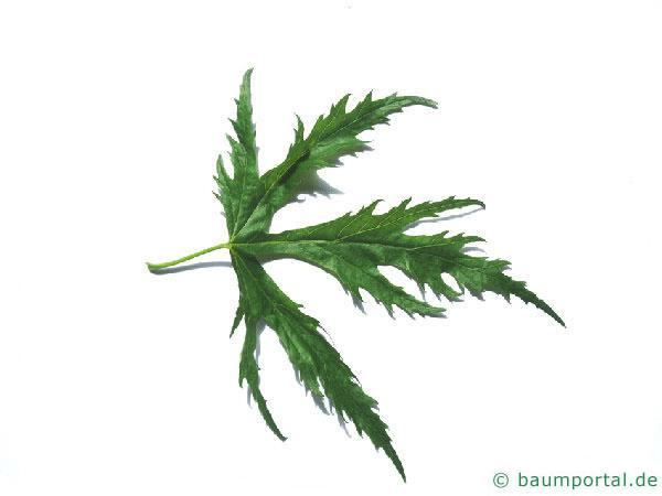 geschlitzter Spitz-Ahorn (Acer saccharinum 'Wieri') Blatt