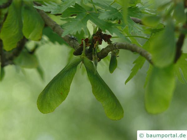 geschlitzter Spitz-Ahorn (Acer saccharinum 'Wieri') Frucht
