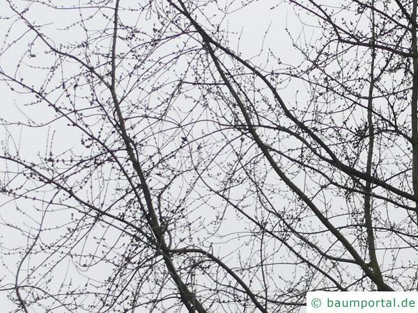 geschlitzter Spitz-Ahorn (Acer saccharinum 'Wieri') Habitus