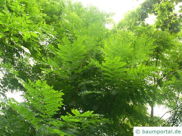 Geweihbaum (Gymnocladus dioicus) Blätter / Krone
