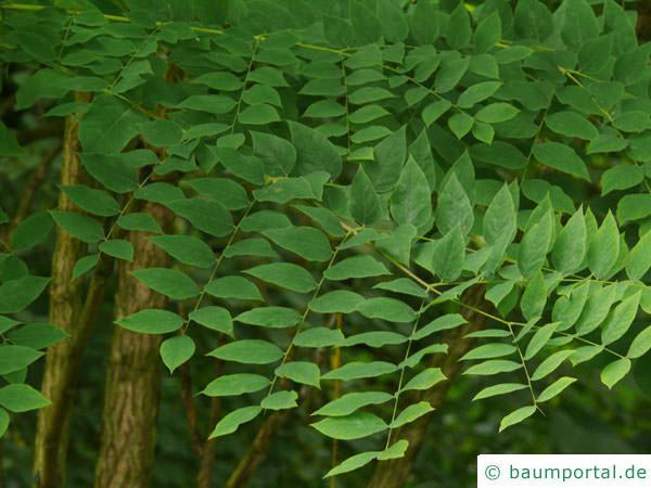 Geweihbaum (Gymnocladus dioicus) Blätter / Blattstellung