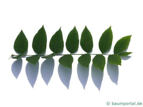 Geweihbaum (Gymnocladus dioicus) Blatt