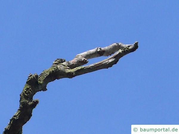 Geweihbaum (Gymnocladus dioicus) Astende im Winter