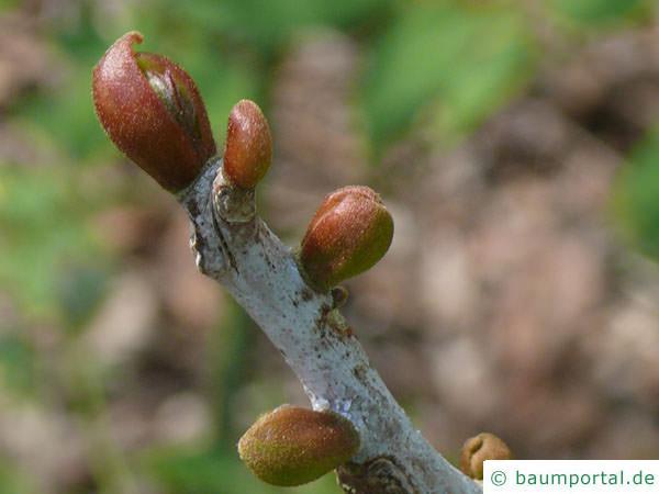 Geweihbaum (Gymnocladus dioicus) Knospe