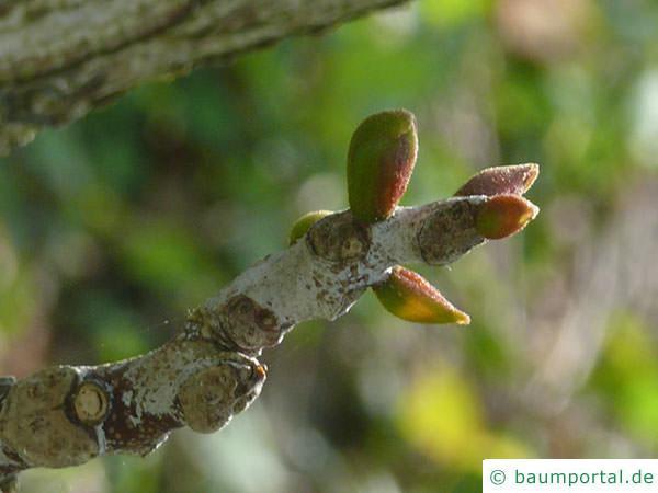 Geweihbaum (Gymnocladus dioicus) Knospen im April