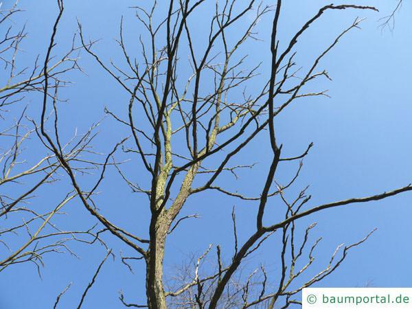 Geweihbaum (Gymnocladus dioicus) Krone im Winter