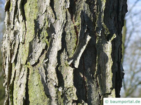 Geweihbaum (Gymnocladus dioicus) Stamm / Rinde / Borke