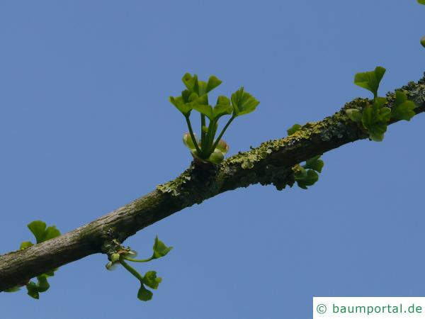 Ginkgo (Ginkgo biloba) Blattaustrieb