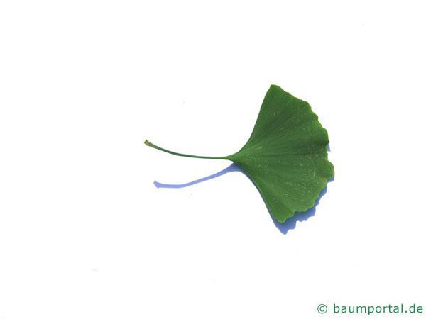 Ginkgo (Ginkgo biloba) Blattunterseite