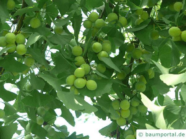 Ginkgo (Ginkgo biloba) Früchte und Blätter