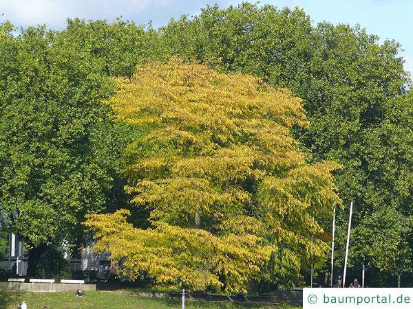 Gleditschie (Gleditsia triacanthos) Baum