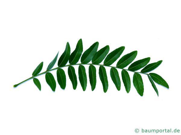 Gleditschie (Gleditsia triacanthos) Blattunterseite