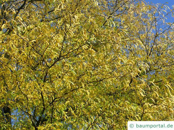 Gleditschie (Gleditsia triacanthos) Herbstlaub