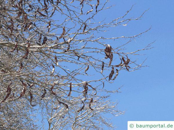 Gleditschie (Gleditsia triacanthos) Winter