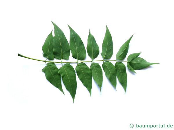 Götterbaum (Ailanthus altissima) Blattunterseite