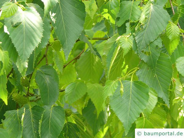 Gold-Birke (Betula ermanii) Blätter