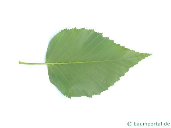 Gold-Birke (Betula ermanii) Blattunterseite
