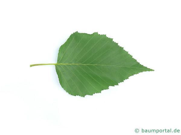 Gold-Birke (Betula ermanii) Blatt