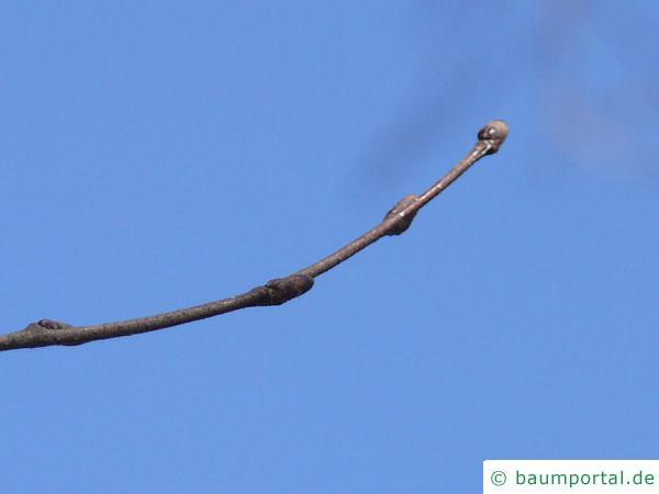 Gold-Birke (Betula ermanii) Endknospe