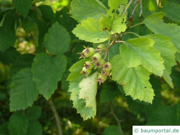 goldfrüchtiger Weißdorn (Crateagus chrysocarpa) Blätter und Früchte