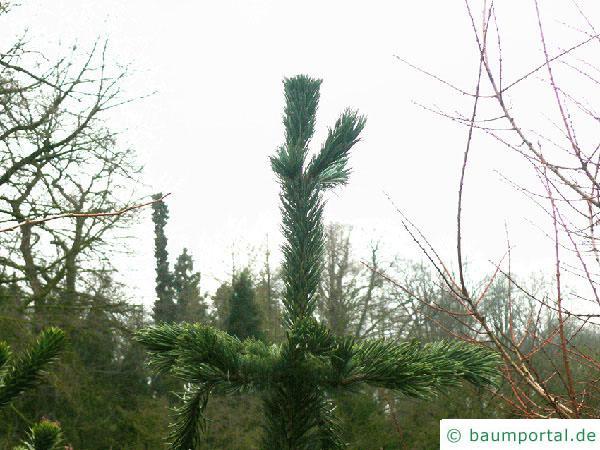 Grannen-Kiefer (Pinus aristata) Baumspitze