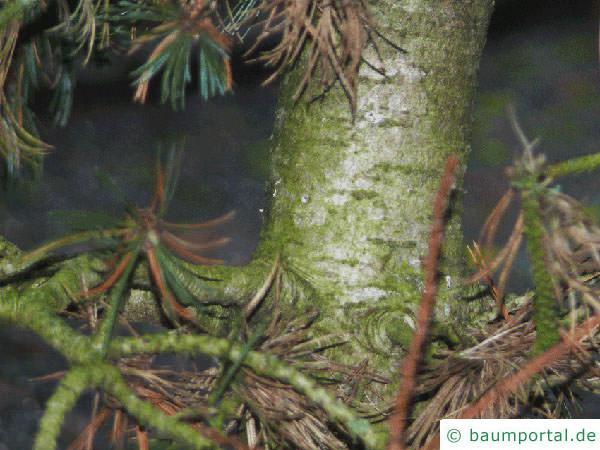 Grannen-Kiefer (Pinus aristata) Stamm
