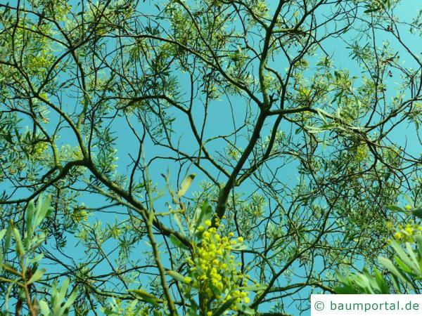 graue Mulga-Akazie (Acacia brachybotrya) Krone
