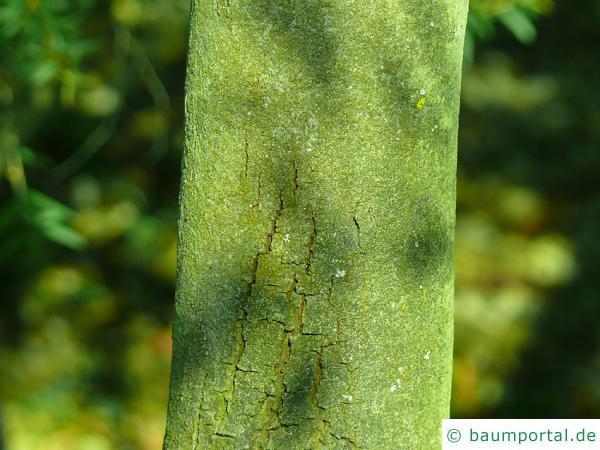 graue Mulga-Akazie (Acacia brachybotrya) Stamm / Rinde / Borke