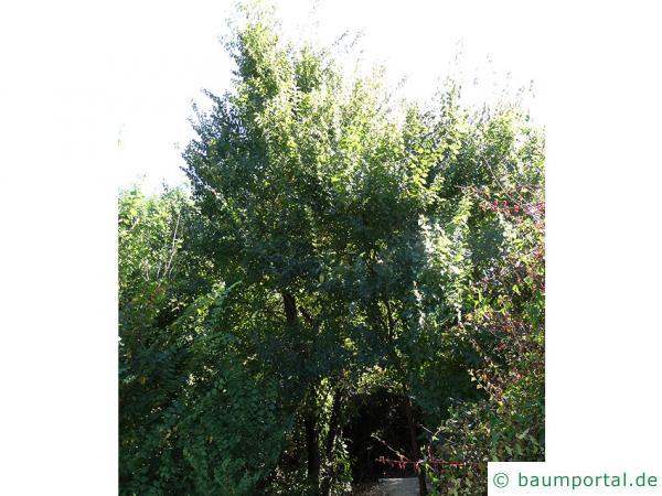 Grau-Ulme (Ulmus canescens) Baum