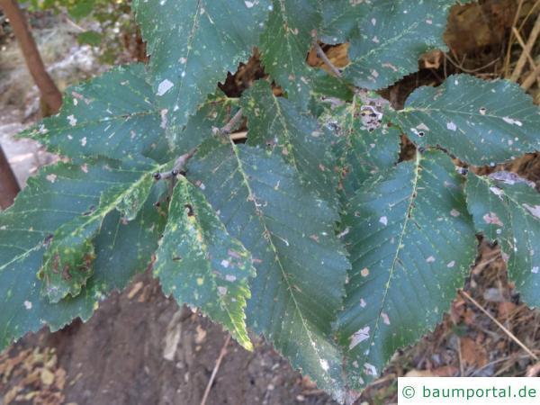 Grau-Ulme (Ulmus canescens) Blätter