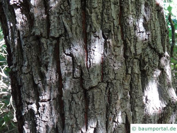 Grau-Ulme (Ulmus canescens) Stamm / Borke