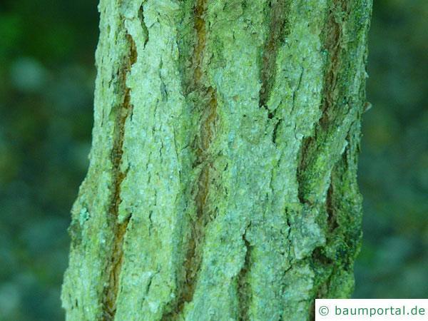 Grauer Eisenholz-Eukalyptus (Eucalyptus paniculata) Stamm / Rinde / Borke