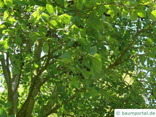 Grau-Erle (Alnus incana) Blätter