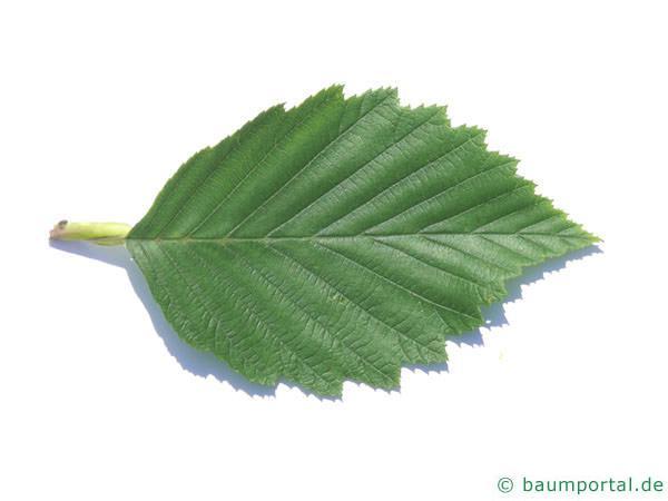 Grau-Erle (Alnus incana) Blatt